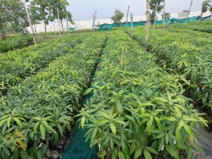 Horticulture in Odisha